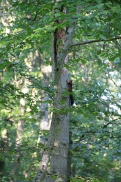 Ecureuil en fuite verticale