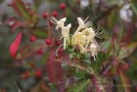 Fleur locale de Scanie
