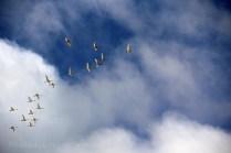 Oies migratrice dans le ciel et la lumière de Skagen