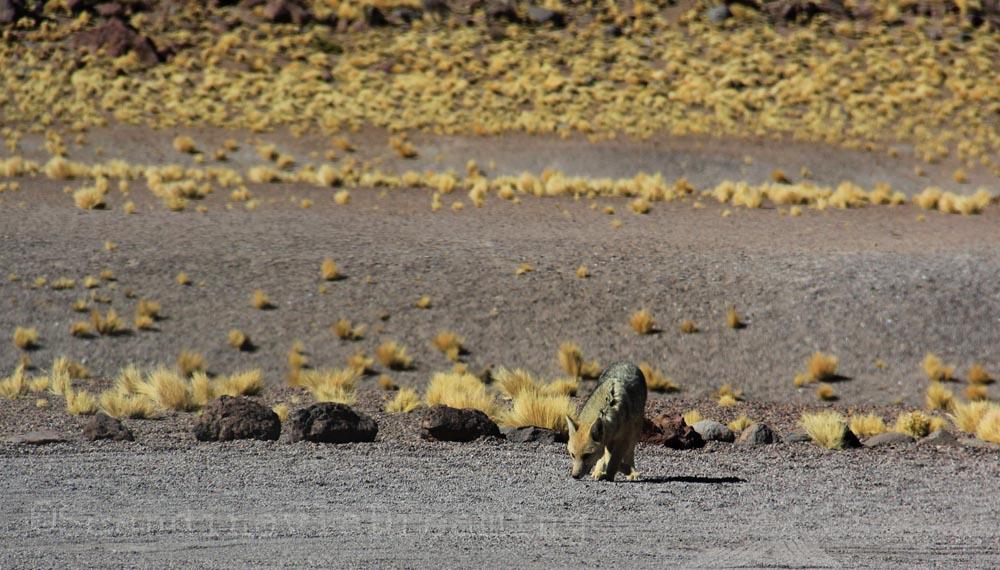 Un Zorro dans le désert d'Atacama