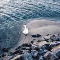Amager strandpark - Le cygne