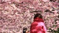 La tête dans les cerisiers en fleurs