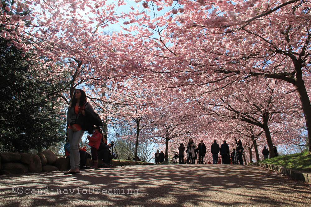 Marcher sous les cerisiers en fleur