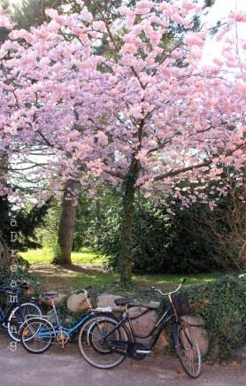 Vélos sous les cerisiers