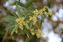 Olives en début de maturation