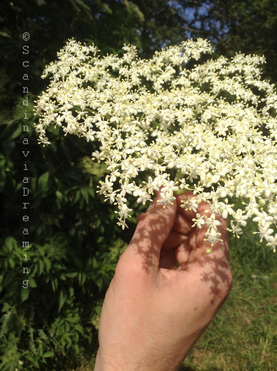 Cueillir les fleurs de sureau