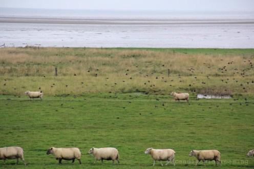 oiseaux moutons
