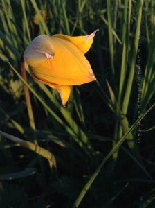 Fleur Bornholm