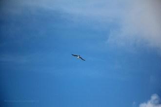 oiseau-marin