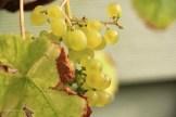 raisin-de-suede
