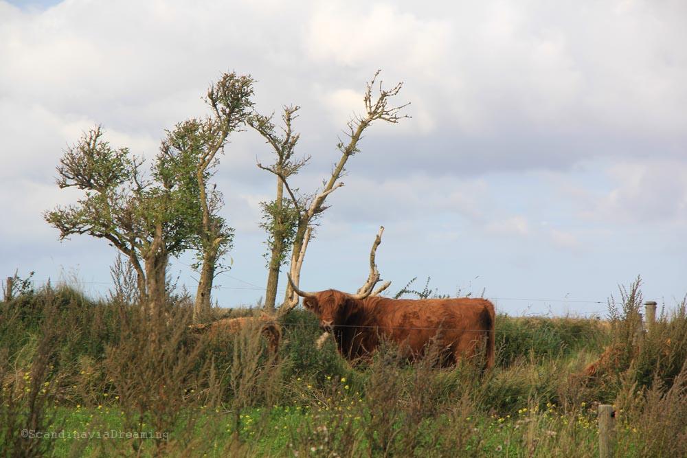 vache-ecossaise