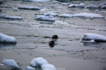 Phoques islandais