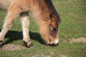 Exmoor Poney