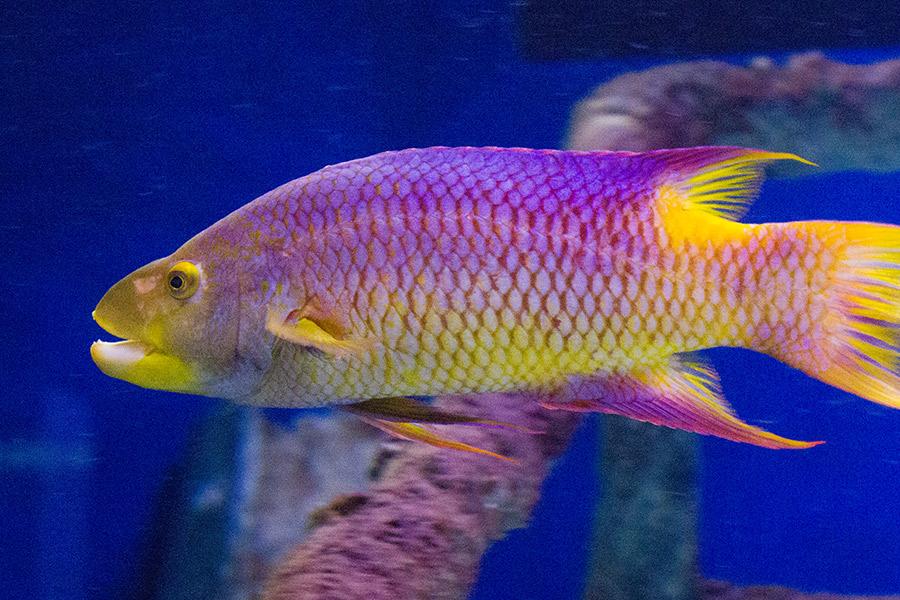 Spanish Hogfish  South Carolina Aquarium