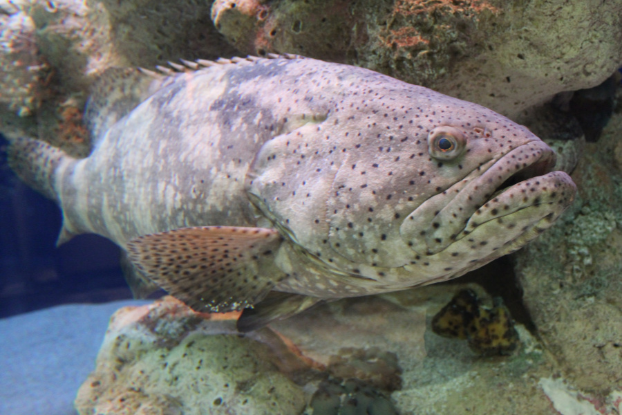 Not All Grouper Species are a Good Catch  South