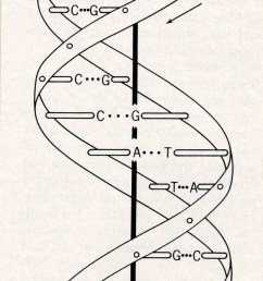 label the diagram of dna nucleotide and basis [ 600 x 1762 Pixel ]