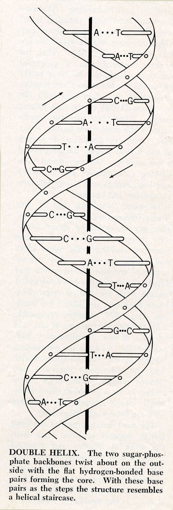 medium resolution of label the diagram of dna nucleotide and basis