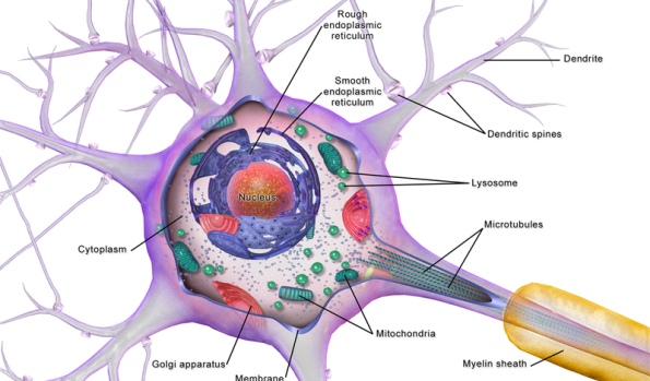 Diagram of neuron, highlighting the nucleus, cytoplasm, golgi apparatus, membrane, mitochondria, microtubules, myelin sheath, lysosome, smooth ER, rough ER, dendritic spines, and dendrite.