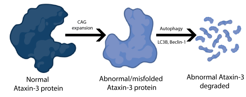 Normal ataxin-1 proteins becomes misfolded due to CAG expansion, but autophagy with proteins LC3B and Beclin-1 should degrade and break down misfolded ataxin-3