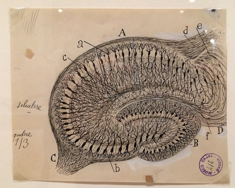 A very detailed sketch of the hippocampus on paper. The drawing looks very old.