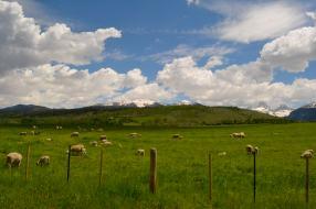 Sheep in Idaho
