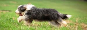 Running Beardie