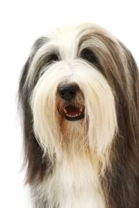 Groomed Beardie portrait