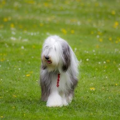 Young Beardie in field