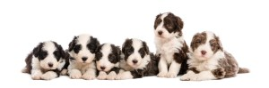Group of Bearded Collie puppies