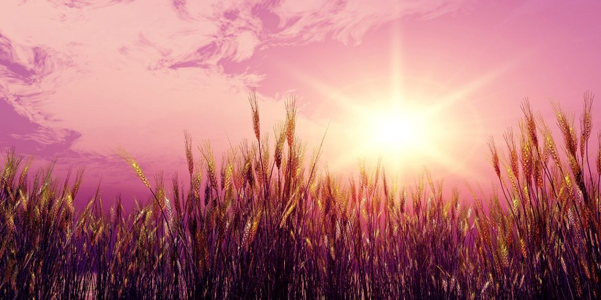 Sun in wheat field