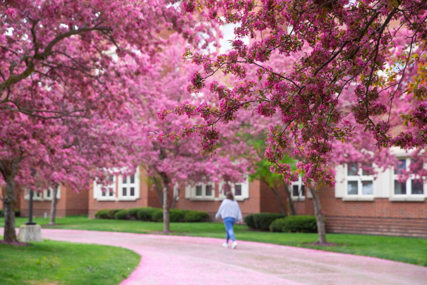 The pink blossoms that line the way from the School of Blossoms in spring.