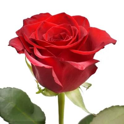 bulk roses for sale