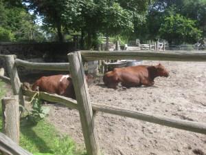 16. Riverdale Farm cows