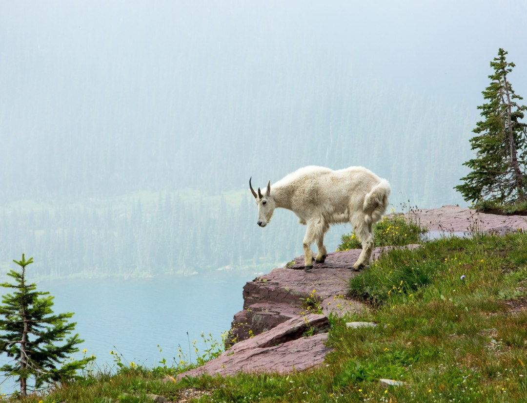 Mountain goat in Glacier National Park -- not a bad spot to elope?!