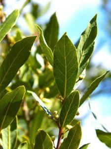 Laurel Leaf, essential oils for inflammation, essential oils for bloating and gas, essential oils for arthritis, inflammation and essential oils