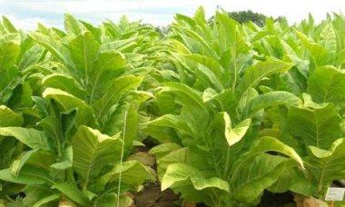 fresh-tobacco