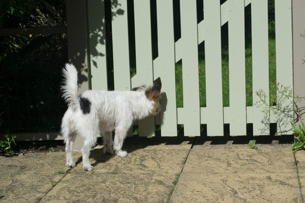 terrier looking through boundary gate