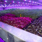 Crops growing under artificial light at the vertical farm near Dundee