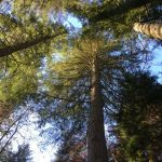 Looking up into a canopy of old conifers at The Hermitage in Perthshire