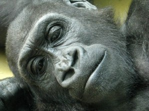 Gorilla - Wilhelma