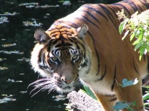Tiger - Wilhelma