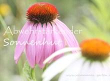 Sonnenhut, Echinacea , Heilwirkung