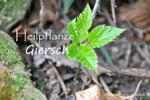 Heilpflanze Giersch, Heilwirkung