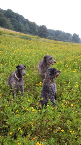 Caileigh, Dobby (Barneby Pinehurst) und Balou im Kamillenfeld
