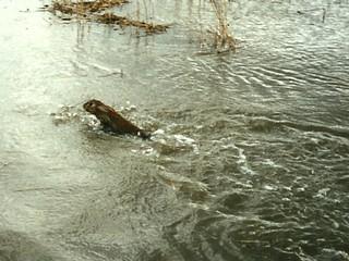 zwemkonijn-galgeschoor-25sep1995