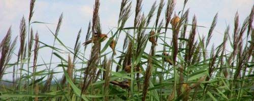 Broedvogelonderzoek Saeftinghe laat grote verschuivingen zien