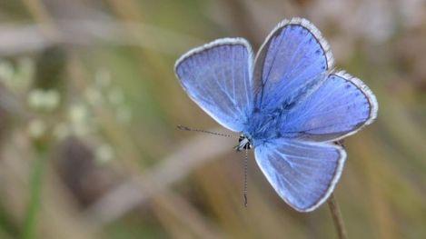 icarusblauwtje (Polyommatus icarus) - mannetje