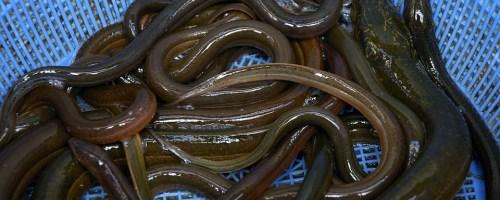 Opvallend veel dode palingen in Nederlandse rivieren