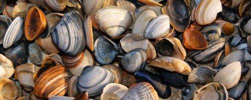 Voor Europa nieuwe schelpdiersoort ontdekt