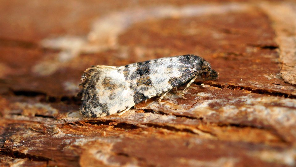 By Ben Sale from UK ([0966] Cochylis atricapitana) [CC BY 2.0 (https://creativecommons.org/licenses/by/2.0)], via Wikimedia Commons